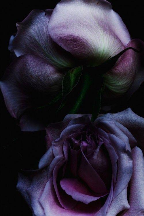 Purple | Porpora | Pourpre | Morado | Lilla | 紫 | Roxo | Colour | Texture | Pattern | Style | Form | Roses