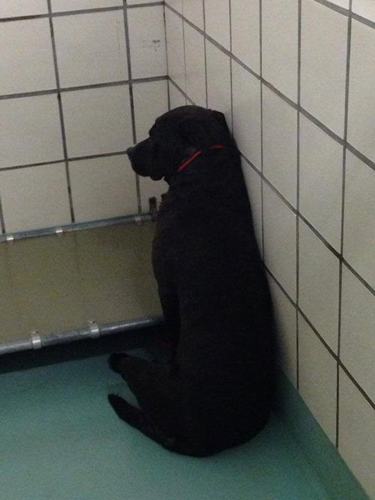 My heart broke when I saw this girl. She's so scared she just sits with her back to us and stares into the corner. She will be passed by and no one look at her she's also a 2yr old black APBT/Lab mix. She's got all the strikes against her. Please ... Please share her picture and help us save her. She needs a home or foster. We are calling her lucky Lucy in hopes that she finds a home. She's at the Pasadena Animal shelter 5150 Burke rd Pasadena Tx 77504 281-991-0602 please ask for ID A099976