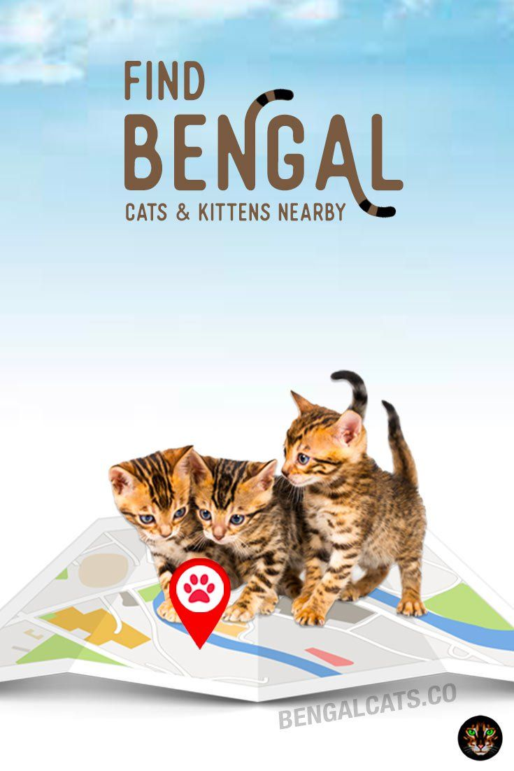 Directory Bengal Cat Rescue Bengal Cat Facts Bengal Cat For Sale