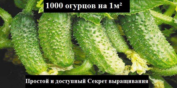 Узнайте как вырастить 1000 огурцов на 1м²! Простой и доступный Секрет выращивания