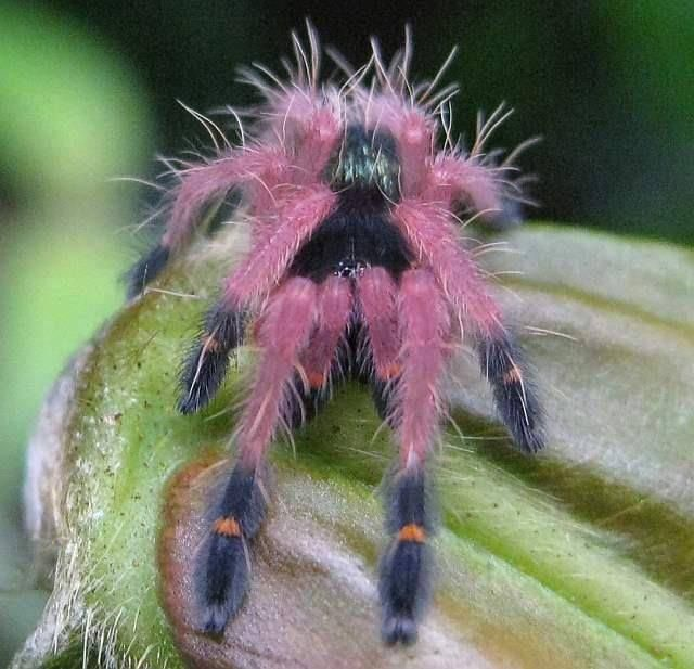 Chilean rose tarantula