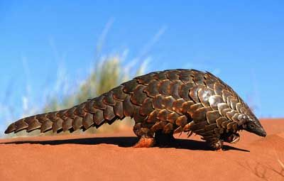 pangolin: the only scaled mammal.  A pangolin (also referred to as a scaly anteater or trenggiling) is a mammal of the order Pholidota.