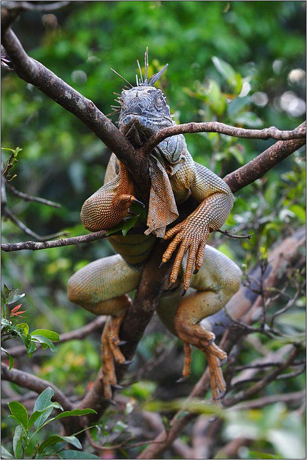 grüner leguan / green iguana / iguana iguana (60 cm) http://fc-foto.de/24250268