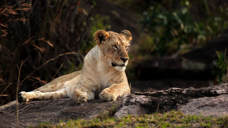 Lion in the evening sun by Vishwa Kiran on 500px