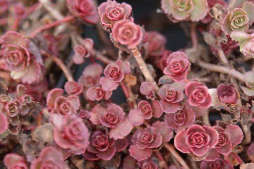 50 RED DRAGONS BLOOD SEDUM Stonecrop Sedum Spurium Flower Seeds Seedville http://www.amazon.com/dp/B004Z8CTO8/ref=cm_sw_r_pi_dp_t7s-wb0JS4E9J