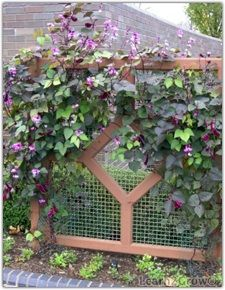 Hyacinth bean vine. I have a ton of this seed that was given to me by a sweet lady. this spring it will cover my ugly chain link fence. it will be so pretty on that long stretch by the house.
