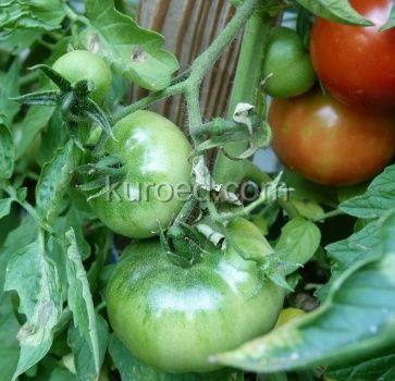 зеленые, красные и бурые помидоры на кусте