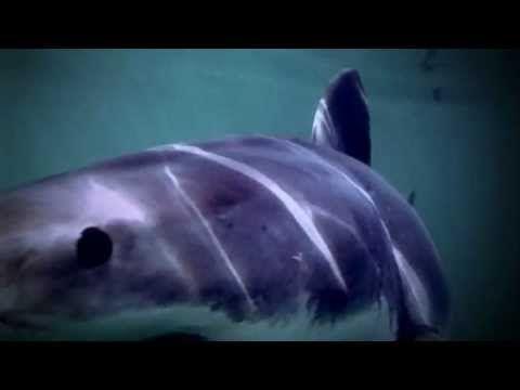 Megalodon the Biggest Shark Ever