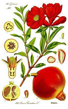 Ilustración de Punica granatum (Otto W. Thomé: Flora von Deutschland, Österreich und der Schweiz, 1885)