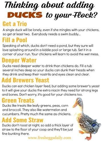 Ordinaire What To Know About Adding Ducks Or Ducklings To Your Flock From Poultry  Expert Fresh Eggs Daily