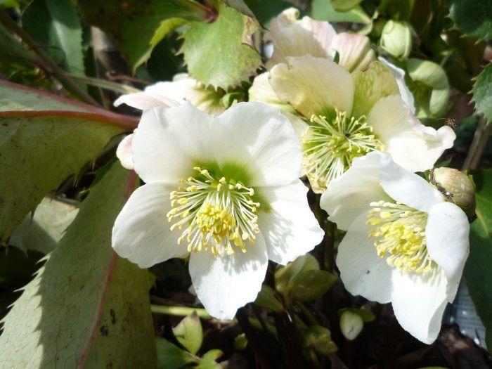 Helleborus: verzorging, bloei, bemesten.