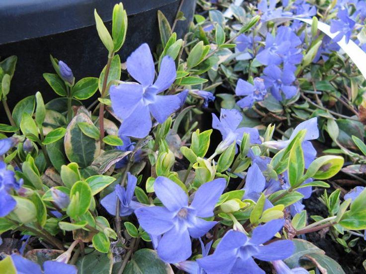 Vinca minor 'Aureovariegata' https://jardinage.ooreka.fr/plante/voir/486/pervenche