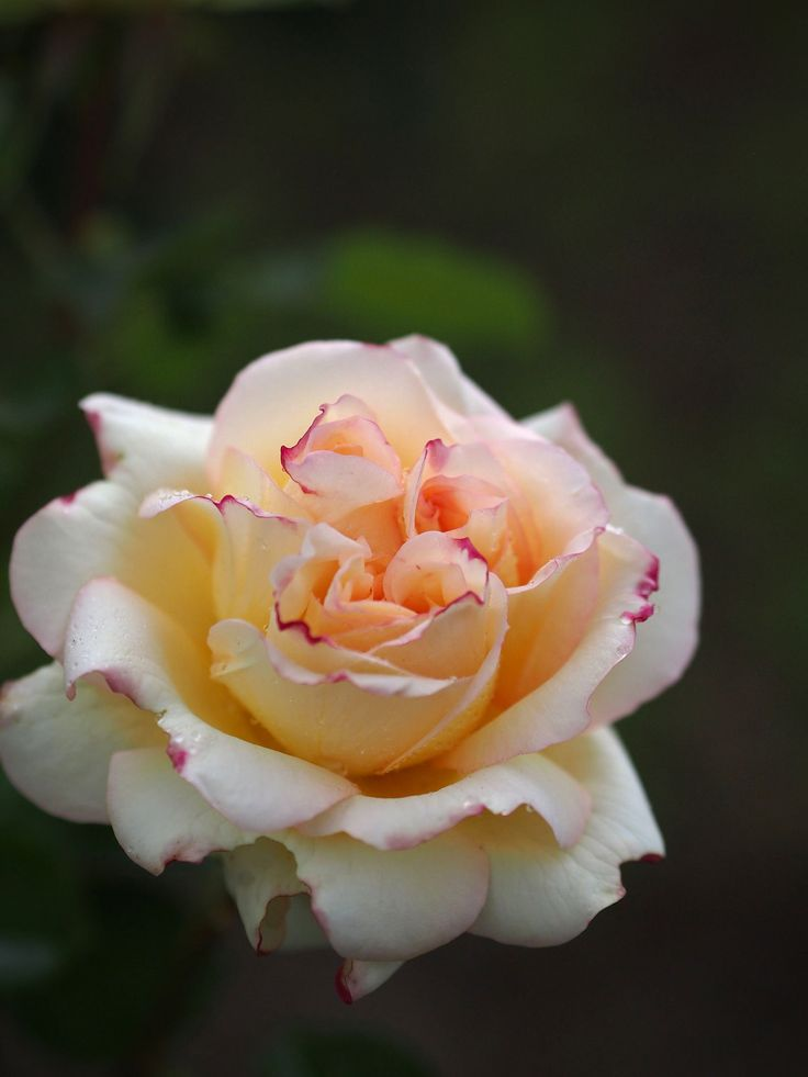 'Alphonse Daudet' | Hybrid Tea rose, France, Meilland-1998