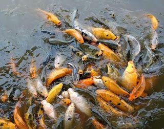 budidaya ikan air tawar yang paling menguntungkan,budidaya ikan air tawar adalah,budidaya ikan air tawar konsumsi,budidaya ikan air tawar di lahan sempit,ikan hias air tawar di aquarium,