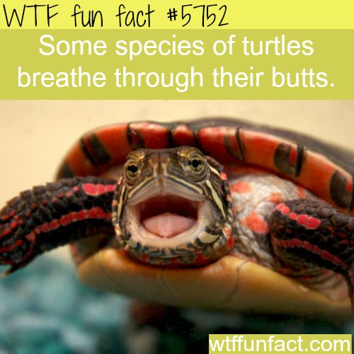 Some turtles breathe through their butts - WTF fun facts