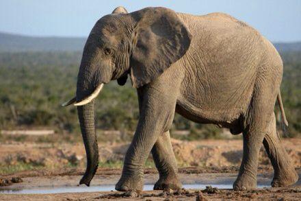 Deze olifanten worden bedreigt.