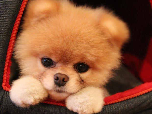 Les animaux sont très appréciés sur la toile, surtout les chats. Mais les chiens ont un représentant qui défend très bien leur réputation, Boo. Ce petit chien est considéré comme l'un des plus mignons du monde, avec sa petite t&...