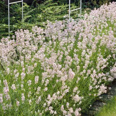 "Lavender 'Hidcote Pink'. Lavandula angustifolia. 12-18"" tall. Blooms June-August."