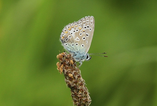 Common Blue (Polyommatus icarus) by aecm1, via Flickr