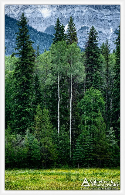 Twin pair of Aspen on the edge of the meadow, Mount Robson Visitor Center, British Columbia