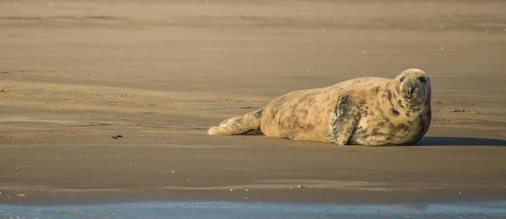 Prachtig Grijze zeehond vrouwtje. Grijze zeehond vrouwtjes zijn vaak wat lichter van kleur dan de mannetjes.