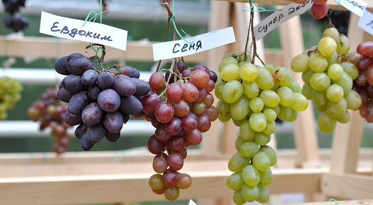 Лучшие сорта винограда для выращивания в средней полосе России и Подмосковье