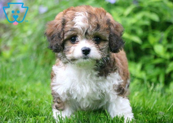 Pauly Cavachon puppies, Cavachon, Cute animals puppies