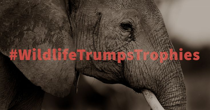 Tell  President Trump that now is not the time to forfeit U.S. leadership in the  fight for wildlife conservation. Send a message against the reversal of the  elephant and lion hunting trophy ban. Take action now. https://secure.awf.org/trump-elephant-ban