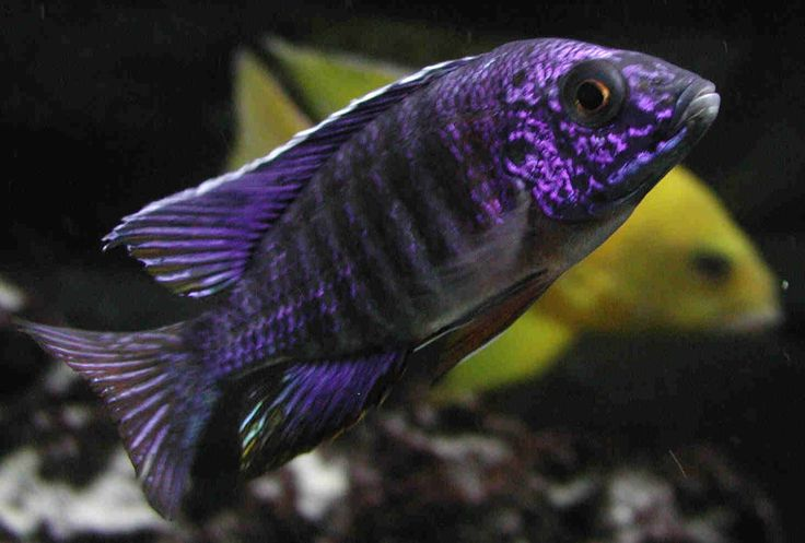 Oooh pretty!  (african cichlid) - I need one to go with my glow in the darks!!!!
