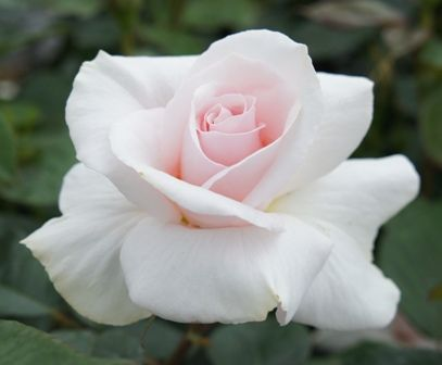WHITER SHADE OF PALE (Peafanfare): Hybrid Tea Roses from Apuldram Roses