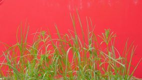 Green Grass Blades on a Chroma Key, Alpha, Red Screen, Young Fresh Grass Grows Among Green Grass, Fresh Green Leaves Are Fluttering at the Wind, Breeze in Sunny Summer of Spring Day, Outdoors, Studio