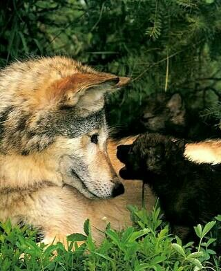 I have a wolf jus like this but has more grey in the face