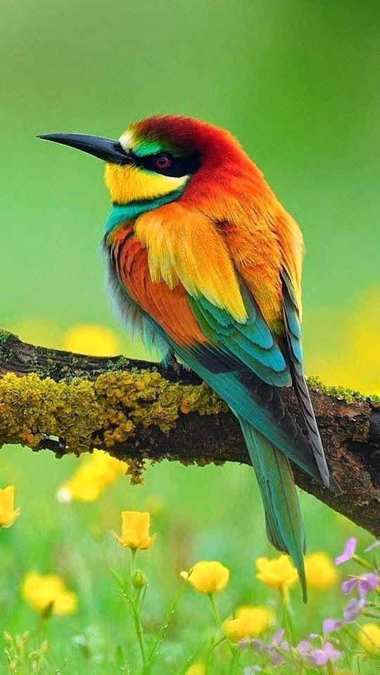 El abejaruco europeo o abejaruco común (Merops apiaster) Esta ave, del tamaño de un zorzal común, se distingue por su llamativa combinación de colores. Presenta un pico largo y curvado, con una cola también larga, especialmente las dos plumas centrales, que le proporcionan un aspecto estilizado. Su coloración resulta muy vistosa, con partes dorsales rojizas, amarillas y verdosas, y zonas inferiores verdosas y azuladas.