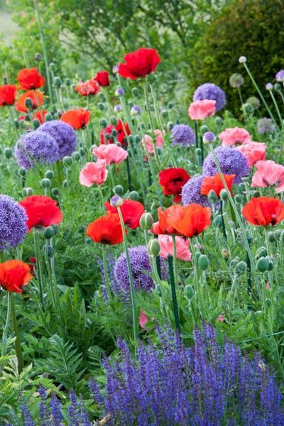 Plant Combinations, Flowerbeds Ideas, Spring Borders, Summer Borders, Allium Globemaster, Oriental Poppy Beauty of Livermere, Oriental Poppy Princess Victoria Louise, Salvia Caradonna, Oriental poppies