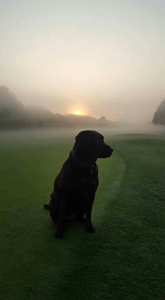 """Morning mist lab From your friends at phoenix dog in home dog training""""k9katelynn"""" see more about Scottsdale dog training at k9katelynn.com! Pinterest with over 18,000 followers! Google plus with over 119,000 views! You tube with over 350 videos and 50,000 views!! Twitter 2200 plus;)"""