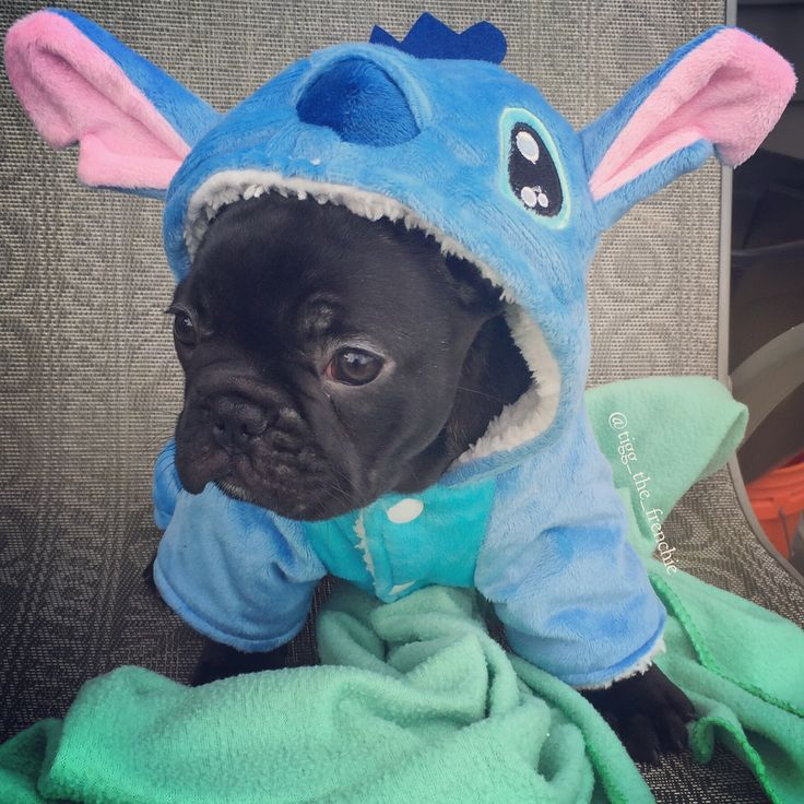 french costumes halloween bulldog frenchie costume bulldogs dogs instagram puppies pug dog bull march animal pet pugs guardado desde
