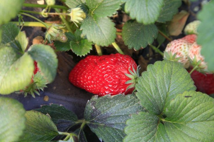 Whichever type you grow, knowing when and how to fertilize strawberry plants is the key to an abundant harvest of large, luscious berries. The following information on strawberry plant feeding will help you attain that goal.