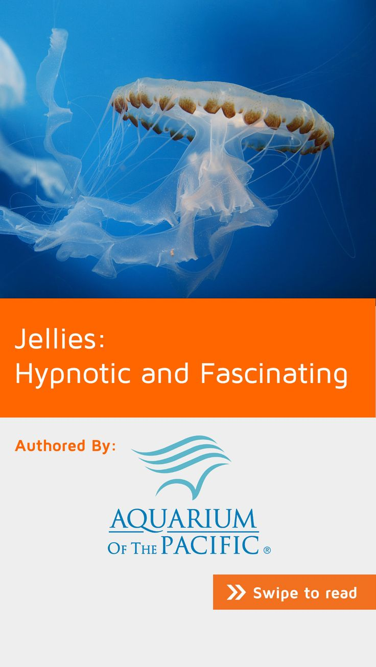 The ocean is home to many species of gelatinous animals, from sea jellies to comb jellies, as well as some tunicates, gastropods, and worms, which can all have translucent bodies similar to sea jellies. Sea jellies survive without a heart, brain, or lungs. They are 95 percent water, and their movements are governed by the flow of the water they live in. How is that possible? Learn more on #NoteStream under #nature.
