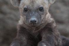 Passage To Africa - Serengeti - Tanzania #Baby #Hyena #Cute
