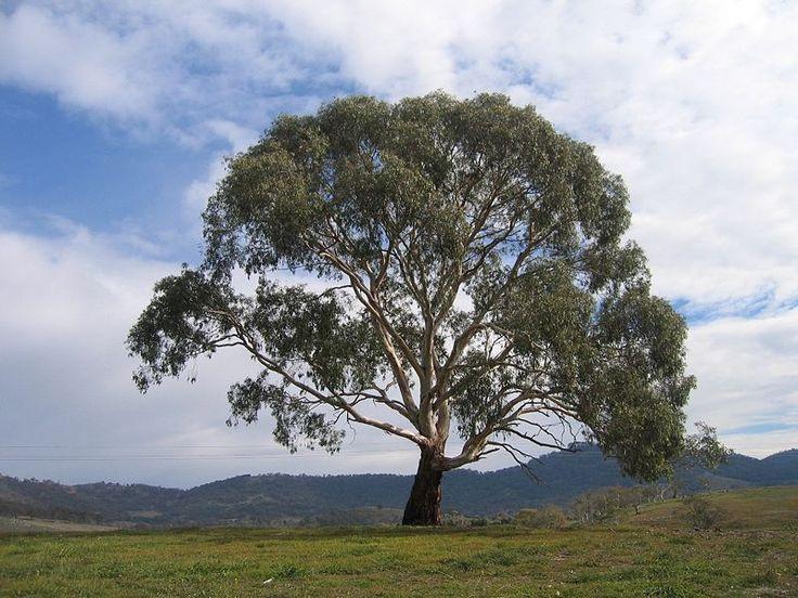 Eucalyptus rubida - Wikipedia, the free encyclopedia