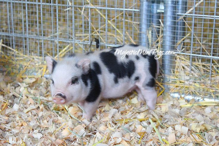 Micro Mini Pigs for sale in Hollywood, Los Angeles, Inland Empire, Orange County - Teacup Pigs- Juliana Pigs for sale in California! We specialize in cute, happy and healthy Micro mini pigs, teacup piglets, nano piglets, mini pigs, tiny piglets and Julian