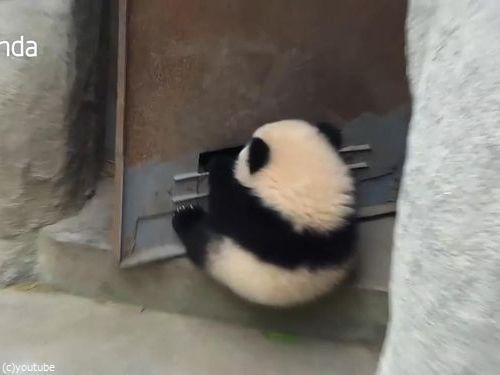 赤ちゃんパンダがドアストッパーになると…どうなっちゃうの!?(動画):らばQ
