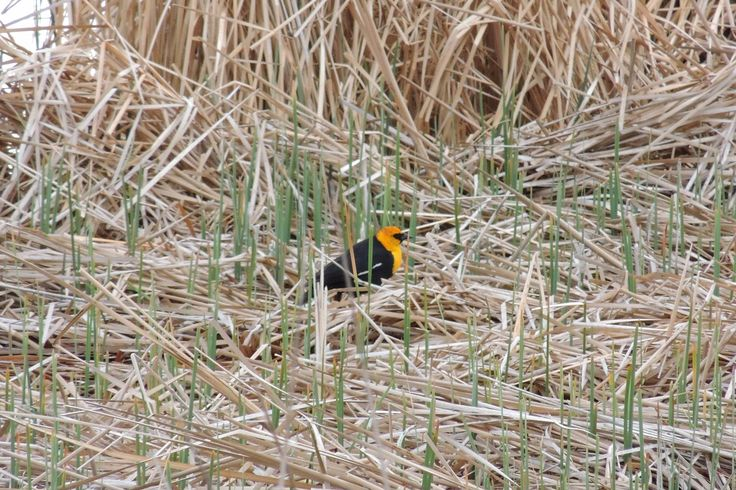 Yellow-Headed Blackbird ©Steve Frye. Wild Bird Company - Boulder, CO. Saturday Morning Bird Walk at Sombrero Marsh - April 18, 2015.