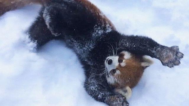 Pandas roux du Zoo de Cincinnati aux États-Unis