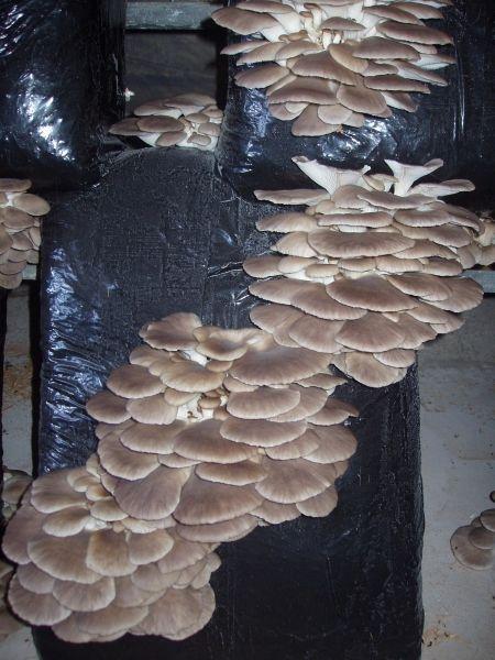 cultivo de seta (orellana), variedad de verano, seta de tamaño mediano-pequeño