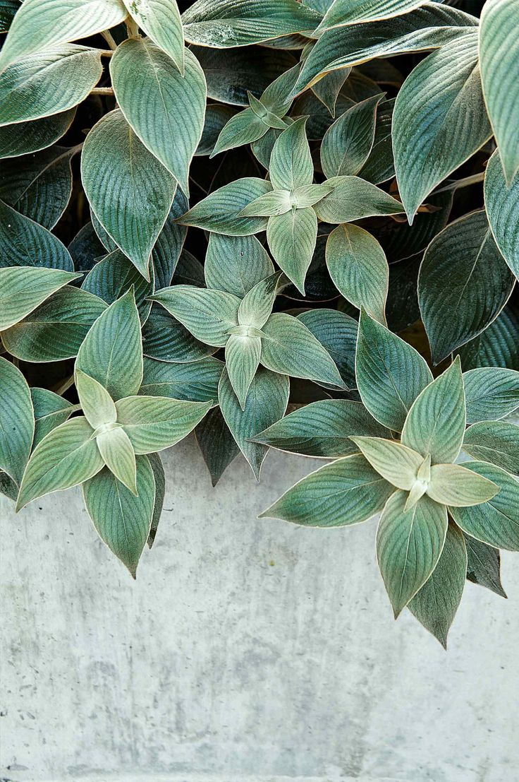 Strobilanthes Gossypinus #plant #foliage #container