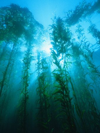 Kelp Forrest-  Listen To The Quiet Nature Brings Us