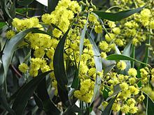 Golden Wattle (Acacia pycnantha), the floral emblem of Australia