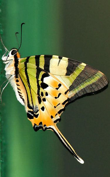 ~~Five-bar Swallowtail Butterfly (Graphium antiphates)   Wikipedia~~