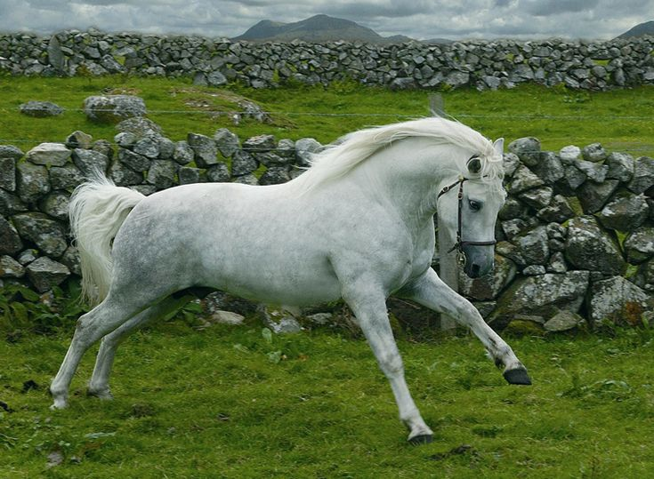 The Connemara pony (Irish: Capaillín Chonamara) is a pony breed originating in Ireland. They are known for their athleticism, versatility and good disposition. The breed makes excellent show ponies. Img:The Connemara Pony | Wild Atlantic Way